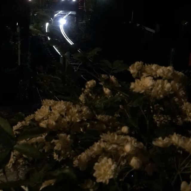 ゴールデンウイーク3日目も終わろうとしています。今日も良いお天気︎ みなさま、お疲れさまでした。箱根上の湯、玄関前。夜のモッコウバラに吸い込まれるように走る箱根登山鉄道をどうぞ🚞♪♬#hakone  #hakone_enjoy  #箱根  #箱根大平台  #箱根上の湯  #箱根っていいよね  #モッコウバラ  #スイッチバックの宿  #夜の登山鉄道  #夜のモッコウバラ #nonfilter  #