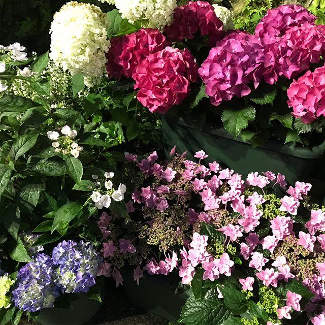 6月15日いよいよ今年もあじさいのライトアップも始まりました!登山電車の沿線は美しいあじさいの花に彩られはじめました。しばらくは雨予報で肌寒さも感じます!お出かけ時は暖かくしていらして下さい!#箱根登山鉄道#箱根大平台#あじさい電車#日帰り岩盤浴#箱根ランチ