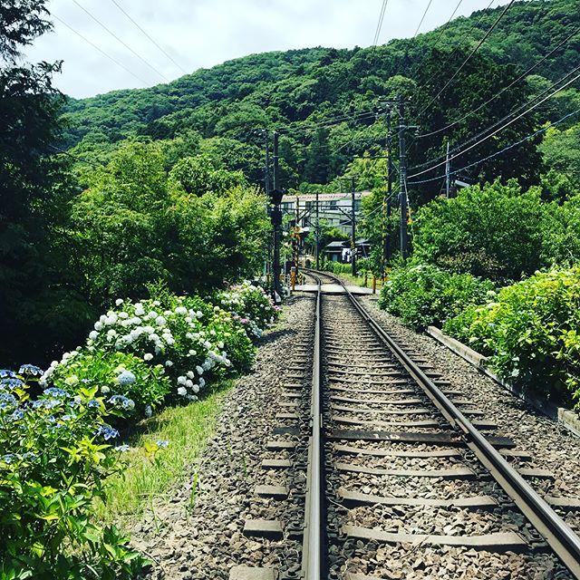 来週から走り始める、あじさい電車を前にかなり色濃くなってきた大平台のあじさいの花!深緑の中鮮やかな赤い登山電車!山間に鳴り響くウグイスの声!この時期だけに出会える風景をどうぞ!#箱根#箱根登山電車#あじさい#大平台#あじさいの里 #ウグイス