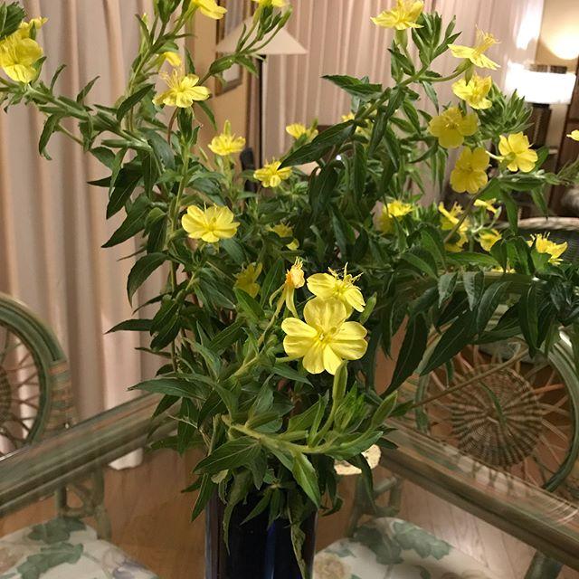 宵待草を頂き早速生けて暗くなるのを待つ!蕾が次から次へと咲き始め!花の開花!月明かりに咲く宵待草!素敵です!夏の花ですね!#箱根#箱根大平台#宵待草#月