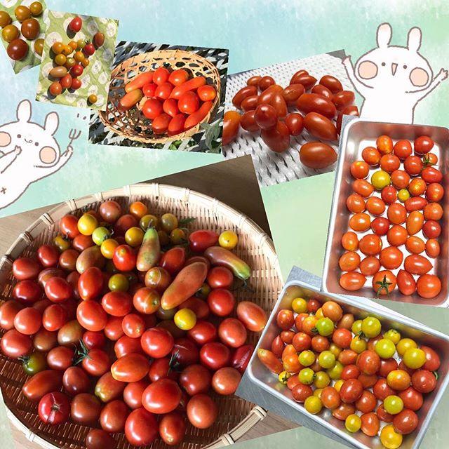 空き地に突然と現れたトマト達トマトの歩み!と題してまとめて頂きました!今朝の収穫はたっぷりでした!今年は実りの年になりました。カリンや姫リンゴも実り!みんなでカリンのシロップ漬け作りしたいと思っています!トマト毎日食べています!#トマト#カリン#箱根#箱根登山電車#箱根#スイッチバック#