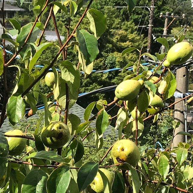 秋も深まり、ここ大平台め実りの季節になりました!柿の実もオレンジになり、我が宿にあるかりんも収穫の時期になりました!少しだけ、はちみつに漬けてみました!初です!一年後には皆様の喉の薬になればいいなぁと!楽しみです!#かりん#花梨の蜂蜜づけ#大平台#箱根#箱根登山鉄道